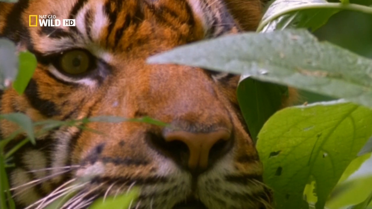 Wild Indonesia / Дикая природа Индонезии [720p] [National Geographic] [Season 1 / Episode 1-3] [2014 / HDTVRip] [Documentary]