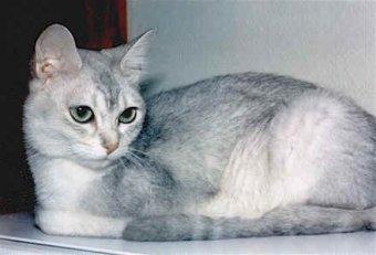 Burmilla (Silver Burmese) Kedi Cinsi